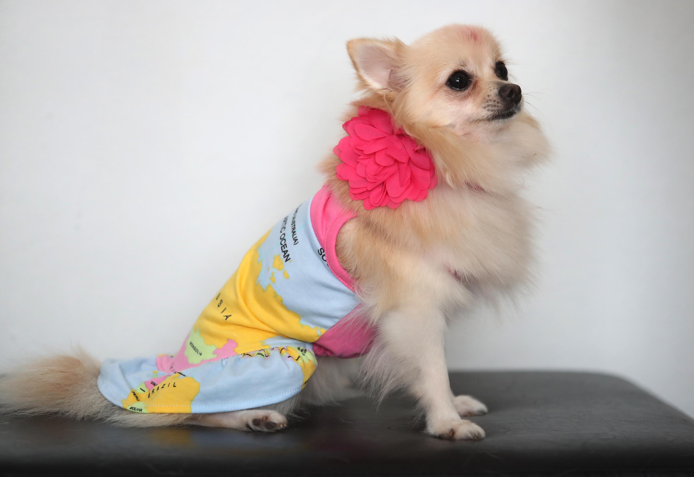 Toy Doggie es una línea de ropa y accesorios para mascotas diseñados en Puerto Rico por Viviana Rivera, una diseñadora de moda para mascotas certificada. En la foto, uno de los perros con la ropa y los accesorios diseñados por Rivera. (Juan Luis Martínez Pérez)