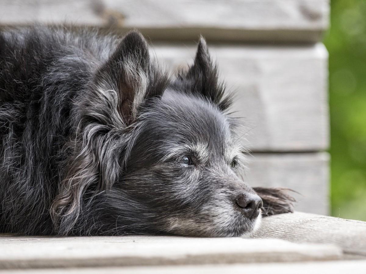"""Se buscan 10 mil perros """"sénior"""" para estudiarlos"""