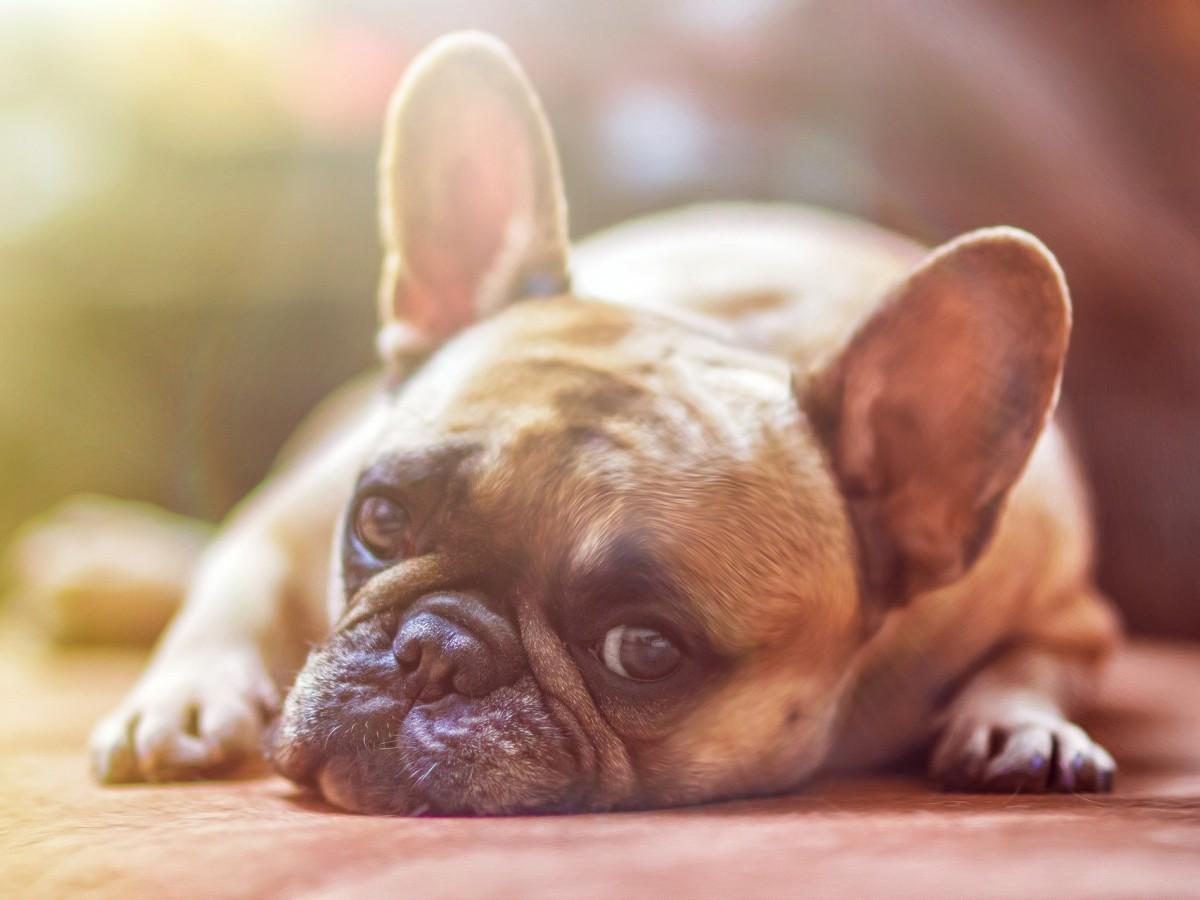 ¿Qué es el coronavirus canino?