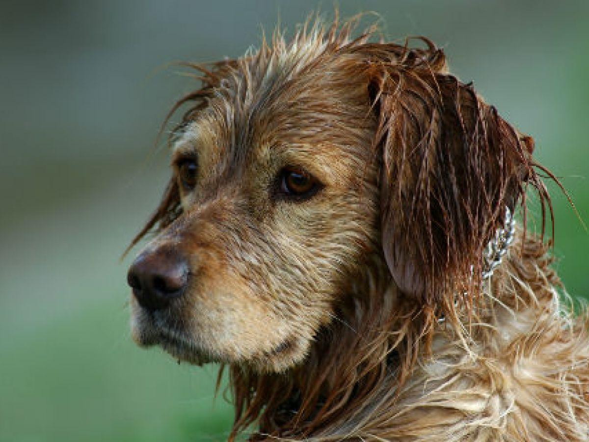¿Por qué los perros mojados huelen tan mal? Esto dice la ciencia