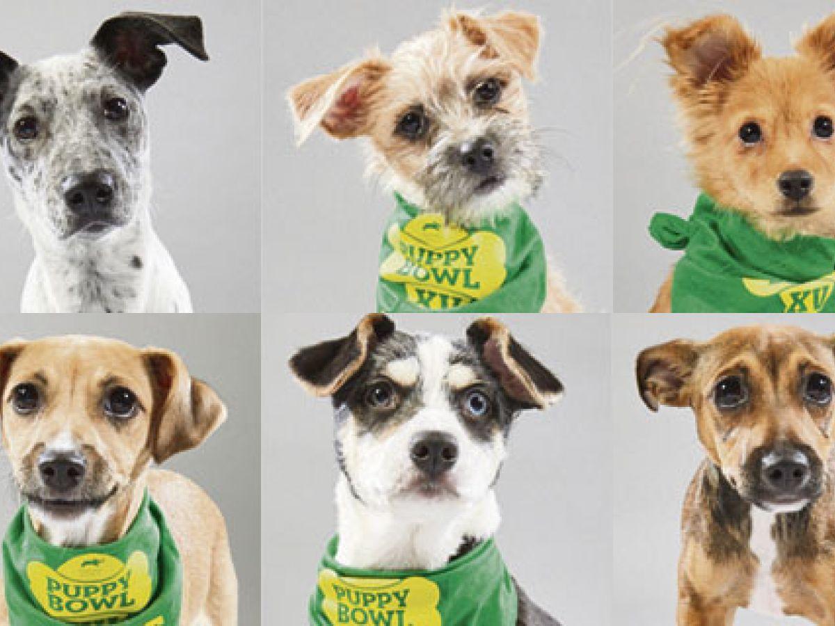 Seis perros satos boricuas participarán del Puppy Bowl este año