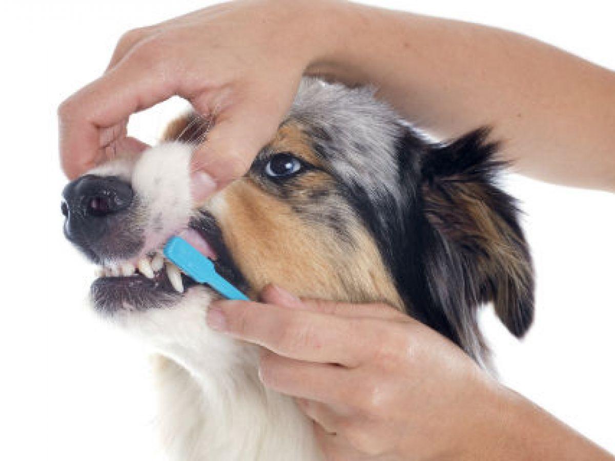 Lavado de dientes en perros puede evitar males graves de salud