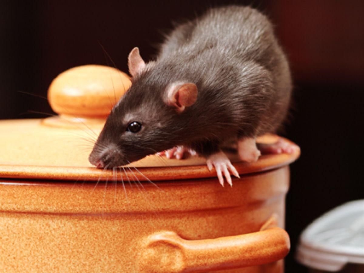 Urge el control de roedores