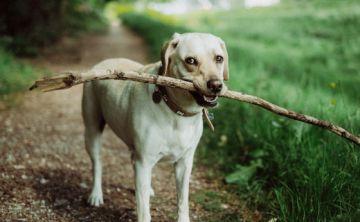 Amenaza el cáncer a los perros