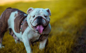 Claves para cuidar y mantener perros grandes